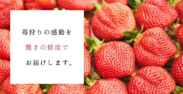 苺狩りの感動を驚きの鮮度でお届けします。